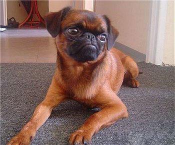 брабансон фото собака